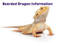 Bearded Dragon Information