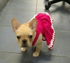 French bulldog with dress on